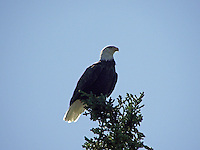 This pair of Bald Eagles nests every year on Fish Lake, Alberta...