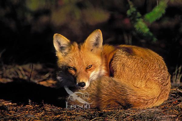 Red Fox..Autumn. Rocky Mountains..(Vulpes vulpes).