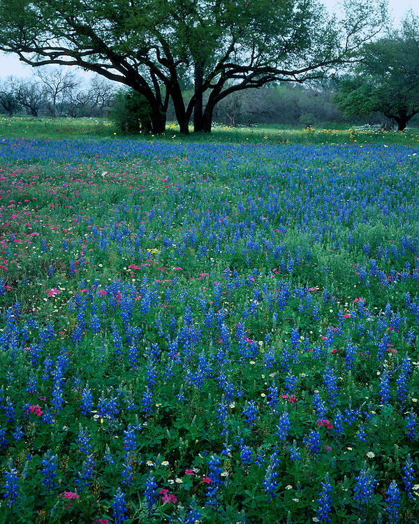 Field of Texas bluebonnets (Lupinus texensis) near Luling; Gonzales County, (Near) Luling, TX