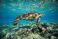 C449  Green Sea Turtle (Chelonia mydas) swimming in ocean off Hawaii.  February.