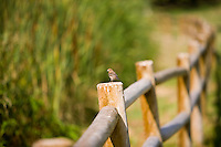 Orange headed bird on fence post in the Aliso Creek Wildlife Sanctuary in Laguna Woods, CA