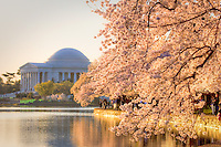 Jefferson Memorial Cherry Blossoms Tidal Basin Washington DC Cherry Blossoms Washington Monument Tidal Basin Washington DC Cherry Blossoms Tidal Basin Washington DC<br /> Cherry Blossoms blooming around the Tidal Basin in Washington, DC symbolize the natural beauty of our nation's capital city and has become part of Washington, D.C.'s rite of spring. Landmarks include the Jefferson Memorial, Washington Monument, and US Capitol. A popular tourist attraction and travel destination for many visiting Washington, D.C.