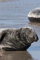 Kegelrobbe, Kegel-Robbe, Kegel - Robbe, Bulle, Männchen, Halichoerus grypus, Grey Seal, Phoque gris