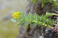 Roseroot - Rhodiola rosea