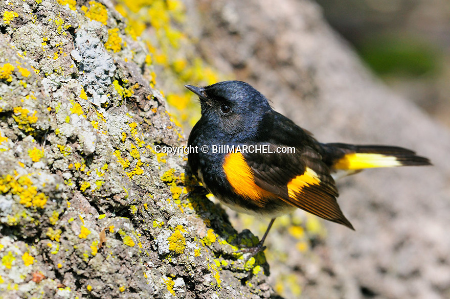 00976-001.01 American Redstart male is perched low on trunk of tree while foraging for insects near ground on cool day.