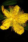 Hypericum, Portland Rose Garden, Oregon