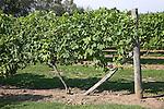 White grapes vines growing on wire frames, Shawsgate vineyard, Suffolk, England