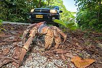 coconut crab, robber crab, or palm thief, Birgus latro, crossing road, Christmas Island, Australia