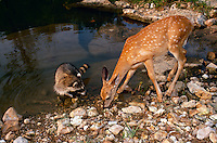 Raccoon and fawn drink from pond.tif