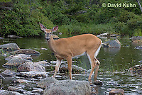 0623-1011  Northern (Woodland) White-tailed Deer, Odocoileus virginianus borealis  © David Kuhn/Dwight Kuhn Photography