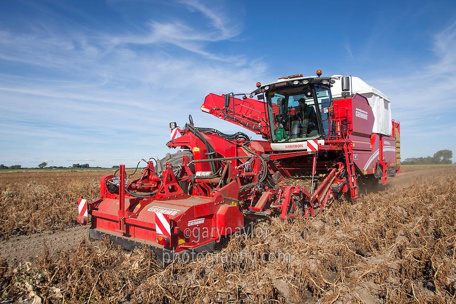 Grimme Varitron 270 self propelled potato harvester lifting Ramos potatoes - October; Cambridgeshire