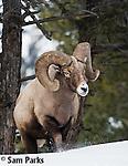 Bighorn sheep ram in winter. Yellowstone National Park, Wyoming.