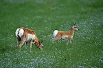 PRONGHORN, American antelope