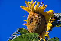 Sunflower, Bee, Blue, Sky- Close-up, Manhattan Beach CA, southwestern, Los Angeles County, Santa Monica Bay,