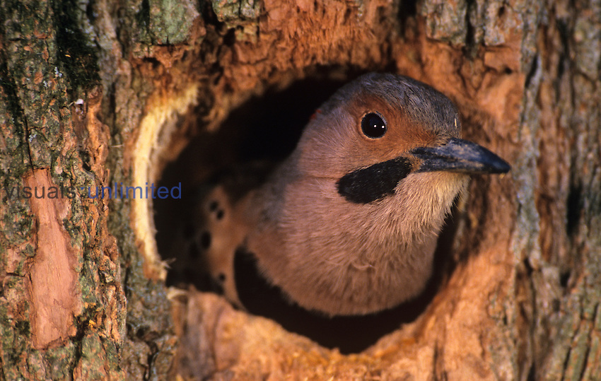 Male Northern or Red-shafted Flicker in its nest hole in a Locust tree (Colaptes auratus), North America.