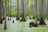 63895-14418 Bald Cypress trees (Taxodium distichum) Heron Pond Little Black Slough, Johnson Co. IL