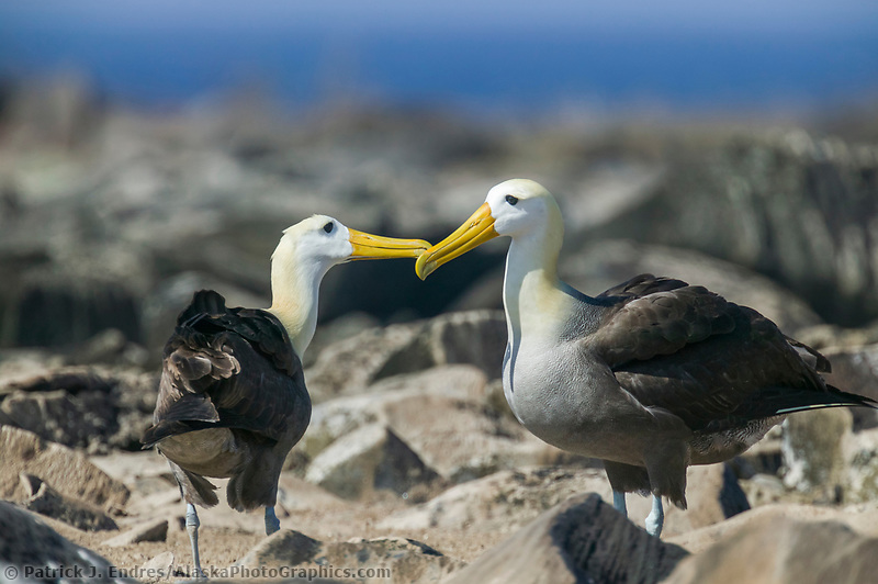 Waved Albatross courtship behavior, Galapagos Islands, Ecuador