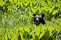 An American Black Bear, Ursus americanus, has its midmorning snack in Round Meadow in Sequoia National Park, California.  Photographed with a Nikon D300, Nikon 300mm lens with a 1.4 teleconverter. The Black Bear is the most common bear species in North America and can been seen throught the continent in at least 40 states.  There is an estimated 600,000 Black Bears in North America, half of which are in the United States.  Although, in Louisiana and Florida the Black Bear are a threatened species and are listed as endangered in Mississippi, eastern Texas and Mexico.