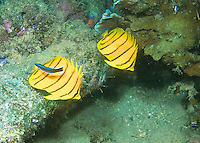 Red-lined Butterflyfish....