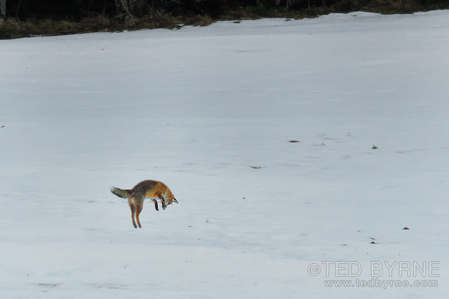 Fox pouncing on prey in a snowy field.