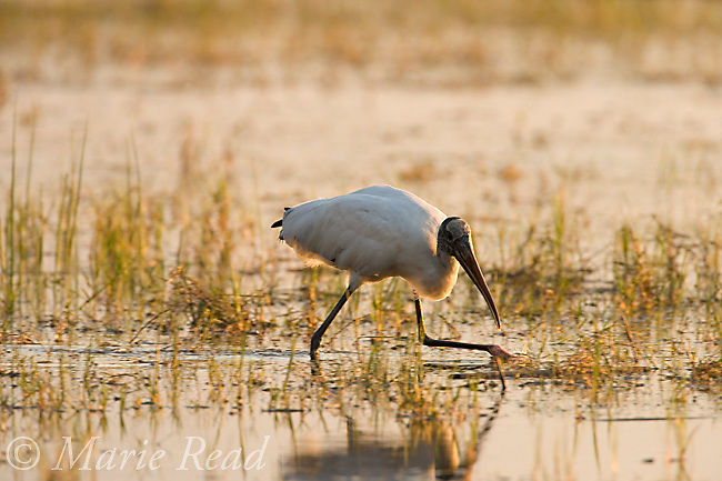 Wood Stork (Mycteria americana) foraging, Lake Cypress, Osceola County, Florida, USA