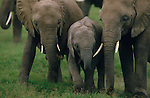 Baby elephant with adults in Etosha National Park, Namibia.