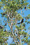 Papisoi, Indonesia; a large colony of great flying fox (Pteropus neohibernicus) flying into the air from their roost in the trees on a small island offshore of Papisoi, this species of megabat is among the largest bats in the world