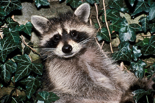 Baby raccoon, Procyon lotor, in ivy close up, Missouri USA