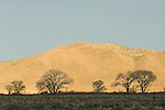 Bare cottonwood trees at sundown in shadow against the Pine Nut Mountains of western Nevada., Carson Valley, Nev.