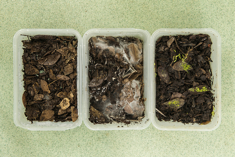 In a patented technique mycelium is extracted from the roots of epiphytic orchids, grown out and used to help germinate and grow orchid seedlings that rely upon this symbiotic relationship. With this technique the Xishuangbanna Tropical Botanic Gardens is able to propagate certain species for the first time.