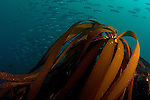 A school of blue rockfish pass behind a sea palm at Carmel, California's Outer Pinnacles in Monterey Bay,California