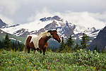 Paint horse in meadow, Tonquin Valley, Jasper National Park, Alberta, Canada