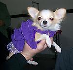 Chihuahua Beauty dob 2009