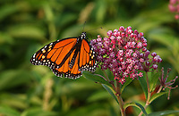 Monarch Butterfly on Milkweed