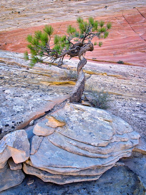 Bonsa ponderosa pine tree struggling to survive and Cherboard Mesa.  Zion National Park, Utah.