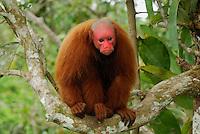 Red Uakari or Bald Uacari (Cacajao calvus rubicundus),adult, Lago Preto, Peru