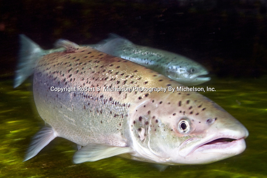 Atlantic Salmon female at base of dam.