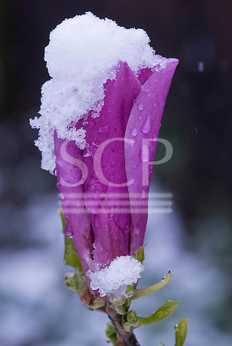 Kingston upon Thames, England. Frosty, snowy day. Purple magnolia flower with snow.