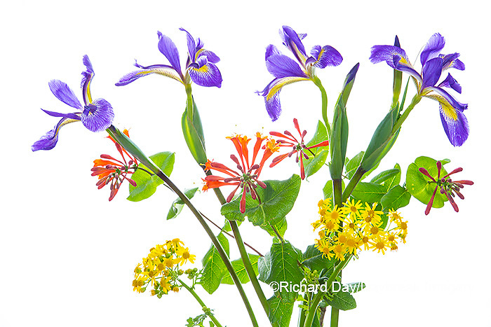 30099-00719 Blue Flag Iris, Dropmore Scarlet Honeysuckle & Butterweed (high key white background) Marion Co. IL