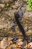 Western Slimy Salamander, Plethodon albagula, adult with fern, Uvalde County, Hill Country, Texas, USA