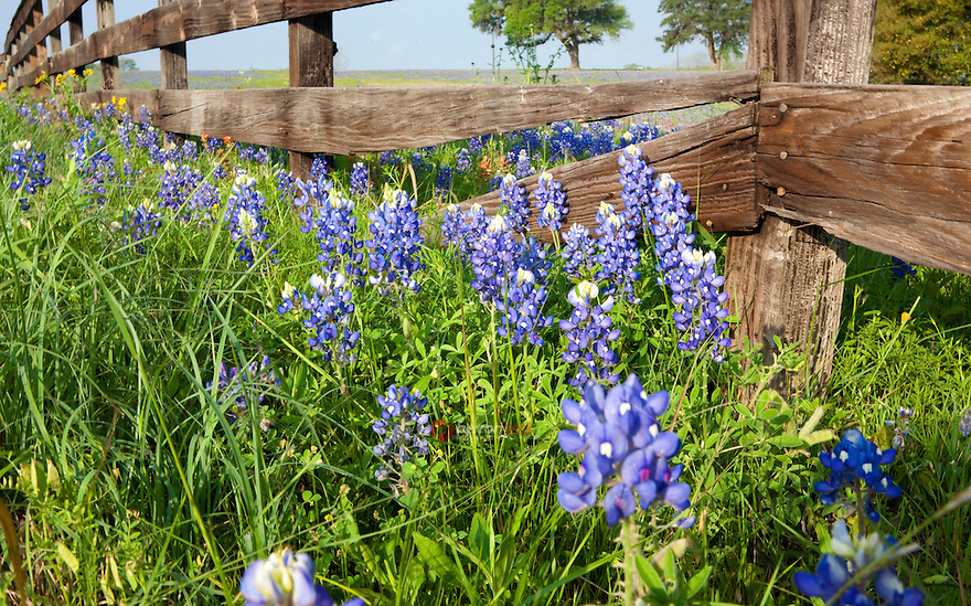 Closeup of an old wood fence outlines a field of bluebonnets (Lupinus texensis) and Indian Paintbrush (Castilleja) wildflowers at a ranch near Independance, Texas