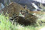 jaguars,  female jaguar licking cub