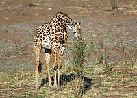 Baby giraffe tree browsing in South Luangwa Valley, Zambia Africa.
