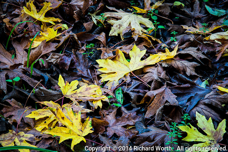 Leaves, some recent and glowing autumn gold, landing on leaves old and brown and dead.   In this annual death-cycle, sprigs of green poke through, called to life by recent, long overdue, rain.  Nature's cycles.
