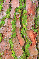 Maritime Pine bark (pinus pinaster) with moss. Hoyt Arboretum. Portland, Oregon