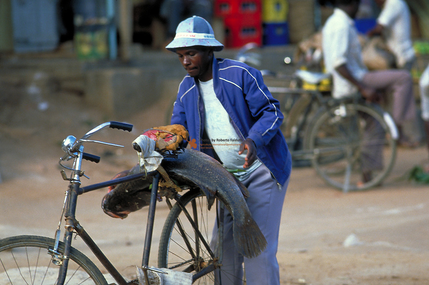 Man fixing a Nile perch fish behing his bicycle