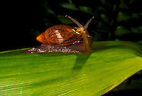 Predatory alien snail carnivorous euglandina rosea
