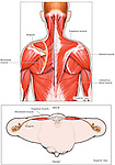 Anatomy of the Intermediate and Superficial Back Muscles. Labels for trapezius, rhomboid, deltoid and scapula.