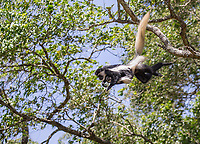 More commonly knows as the black-and-white colobus, these large hairy monkeys were quite active in Arusha National Park. Here, a mother flies through the trees while her baby hangs on. More commonly known as the black-and-white colobus, these large hairy monkeys were quite active in Arusha National Park.