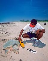 biologist uses microwave scanner to read P.I.T. tag ( rice-grain-sized internal tag that emits i.d. # when scanned ) on Kemp's ridley sea turtle, Lepidochelys kempii, Rancho Nuevo, Mexico, Gulf of Mexico, Atlantic Ocean